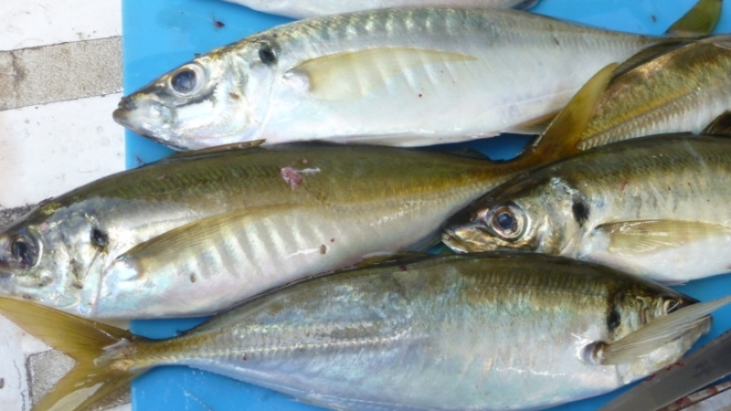yellowtail scad export from vietnam