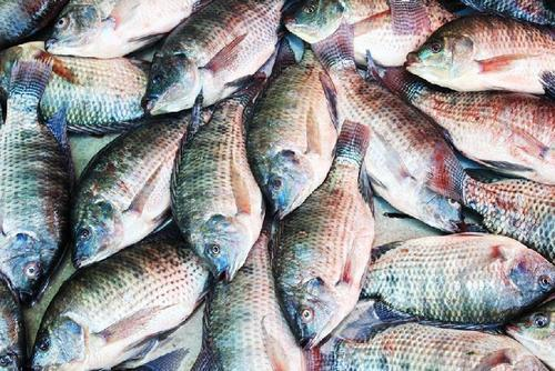 black tilapia export original vietnam