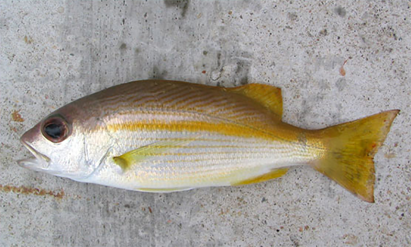 indian snapper export in vietnam