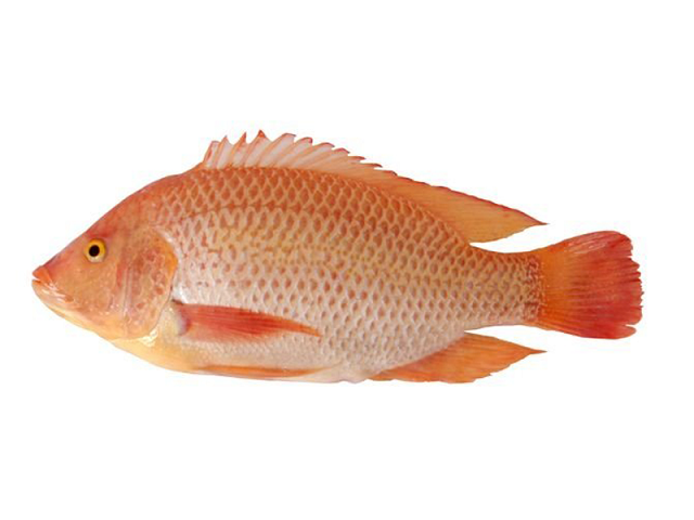 red tilapia export original vietnam