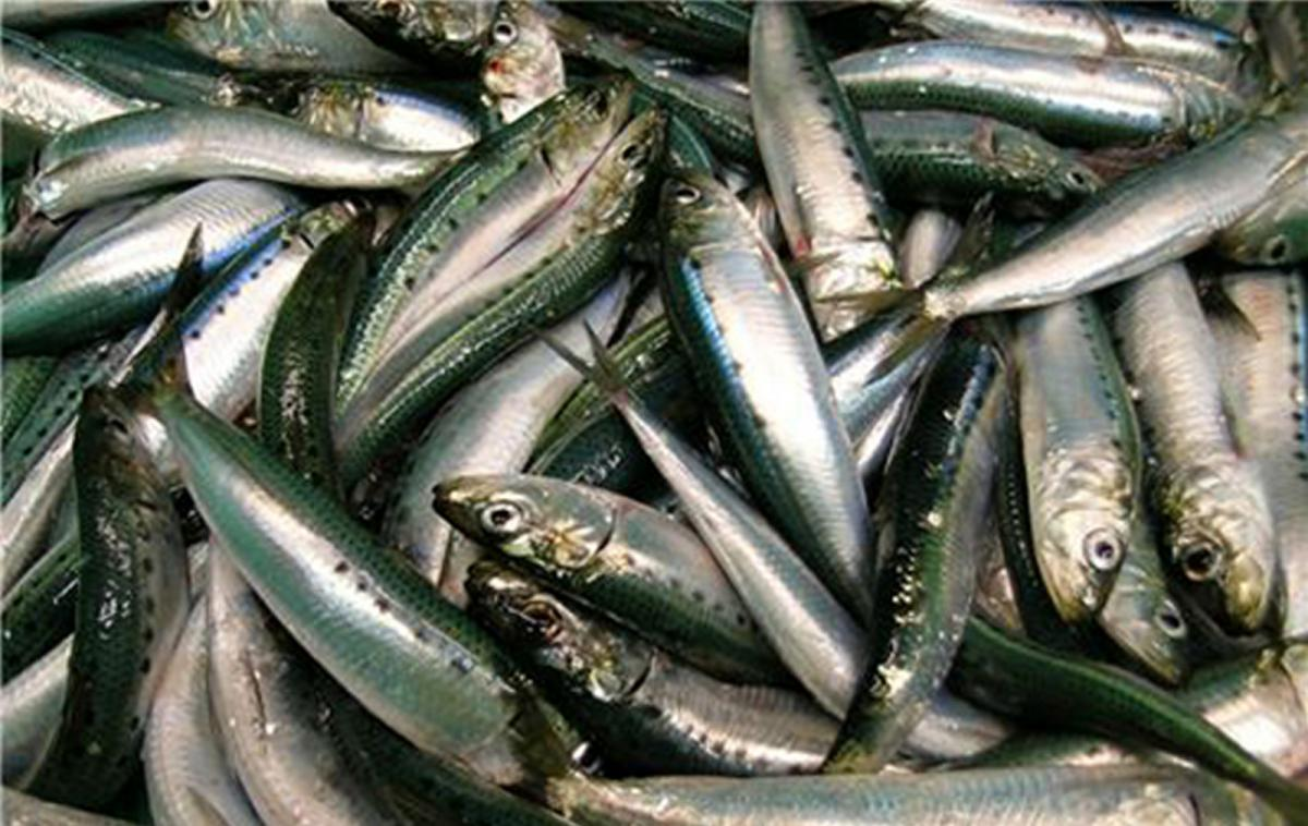 sardine fish export in vietnam